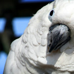 whiteparrot