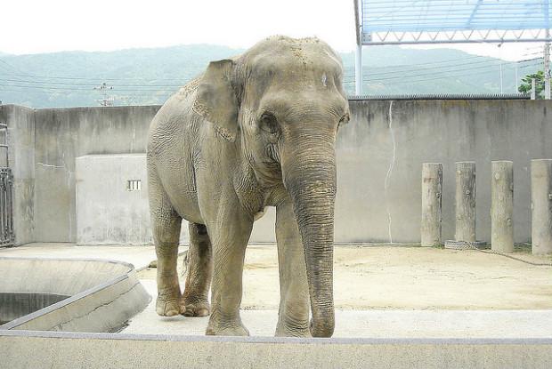 京都の動物園のゾウ