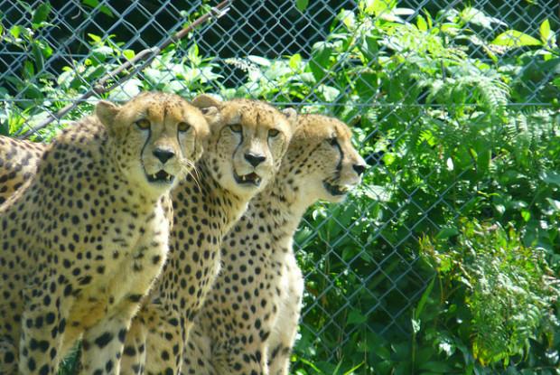 大分県の動物園の九州自然動物公園アフリカンサファリのチーター