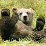 brown-bear-kumamoto