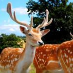 deer-oita