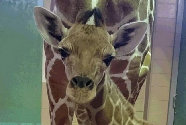福山市立動物園のアミメキリン