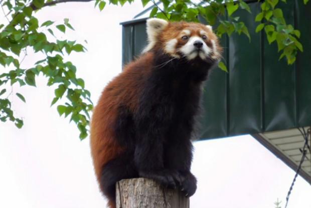 福井県の動物園の西山動物園にいるレッサーパンダ
