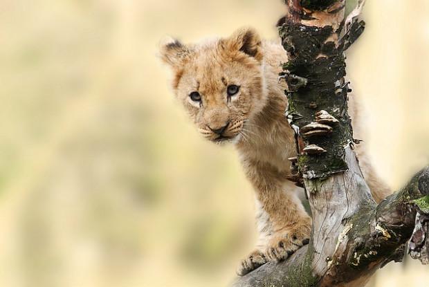 山口県の動物園にいるライオン