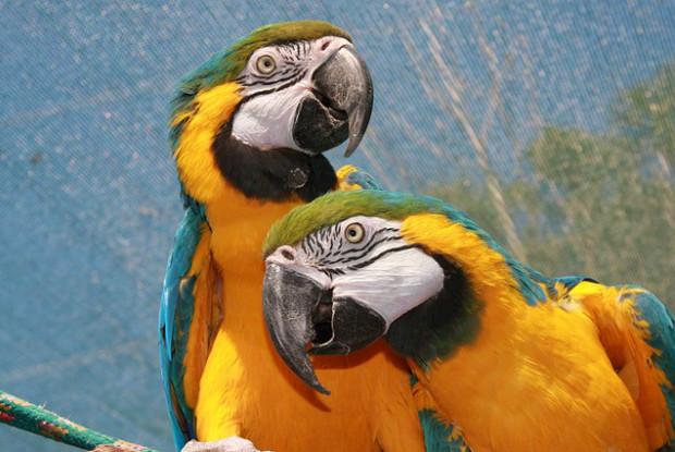 鹿児島県の動物園、長崎鼻パーキングガーデンにいるコンゴウインコ