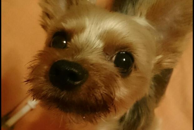 坂上忍さんの愛犬の佐久間ギンジ