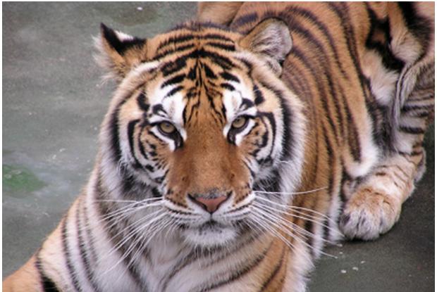 宮崎県の動物園、フェニックス自然動物園のトラ