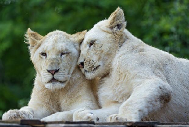 福島県の動物園の東北サファリパークにいるホワイトライオン