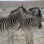 zebra-yama
