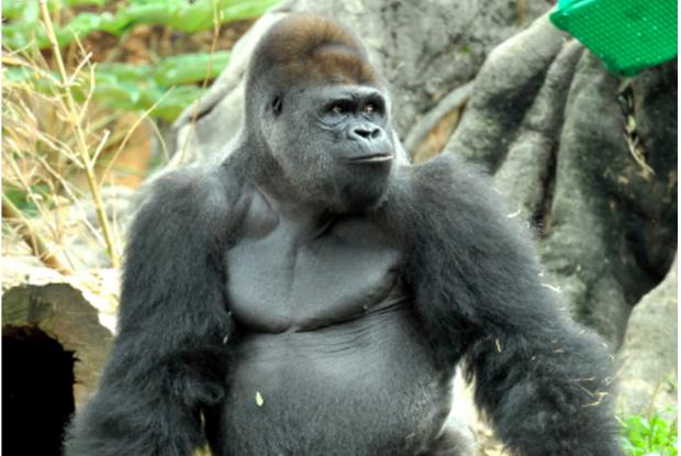 イケメンゴリラのシャバーニの兄ハオコ