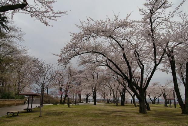 青森県の八戸公園の桜