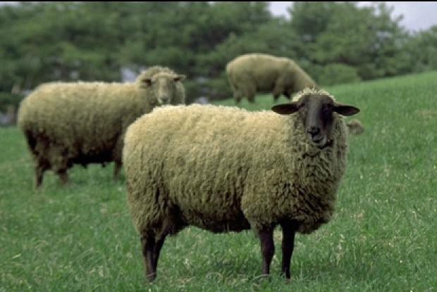 カワヨグリーン牧場の羊