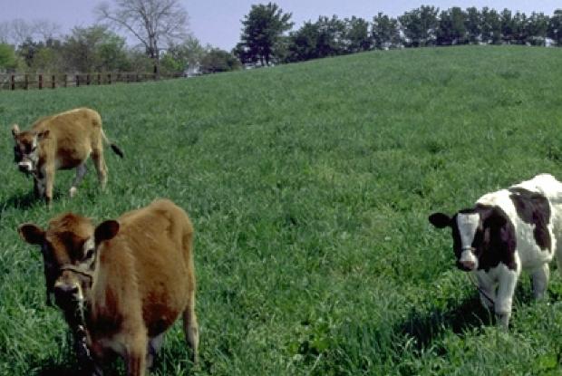 カワヨグリーン牧場の牛