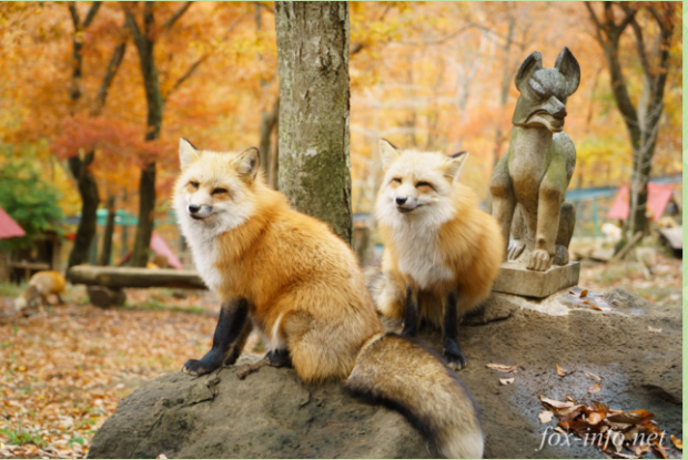 宮城県の動物園の宮城蔵王キツネ村のキツネ