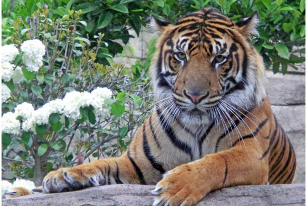 宮城県の動物園の八木山動物公園のスマトラトラ