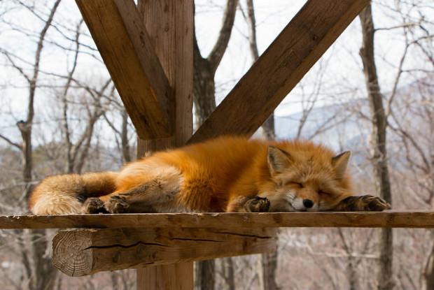宮城蔵王キツネ村のキツネが寝転ぶ様子