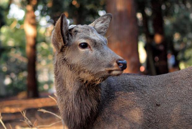 山形県の動物園の河北町児童動物園にいるニホンジカ