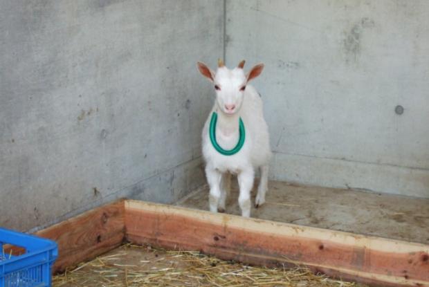 山形県の動物園の河北町児童動物園のヤギ