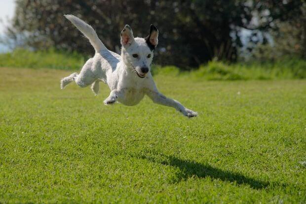 ドッグランでボールをくわえて走る犬