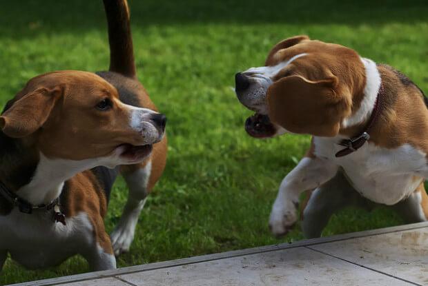 他の犬に吠える犬