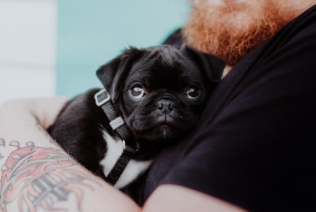 人に抱かれるパグの子犬